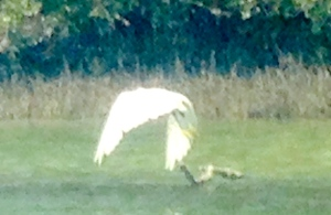 White heron takes flight as I approach...